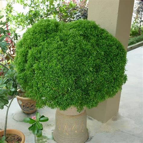 beli disini akalipa brokoli hijau kondisi subur ibad garden