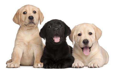 Cute White Puppies Wallpaper Labrador Animale Petshop Pet Shop Em Fortaleza