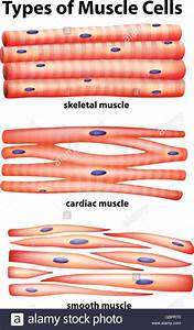 Diagram Showing Types Of Muscle Cells Illustration Stock