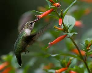 cigar plant hummingbirds the hummingbird forum finally a cigar plant