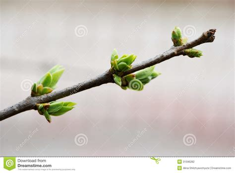 tree with buds green buds on a tree branch stock photography image 31596282