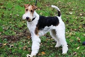 Spa Vannes Chien : fox terrier poil dur l 39 avis du v t rinaire choisir ~ Dallasstarsshop.com Idées de Décoration