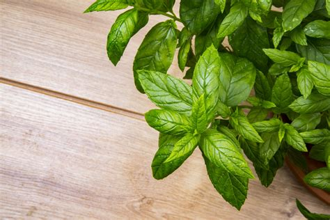 peppermint herb  stock photo public domain pictures
