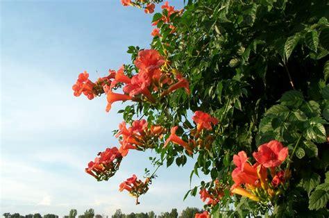 Blühende Kletterpflanzen Winterhart Mehrjährig