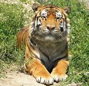 National Tiger Sanctuary Photos - Branson.com : The ...