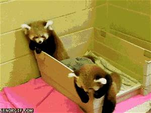 The Cutest Red Panda GIFs Ever Seen