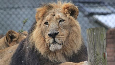 Asiatic Lions, In The Trail Of The Kings Area Of The Zoo