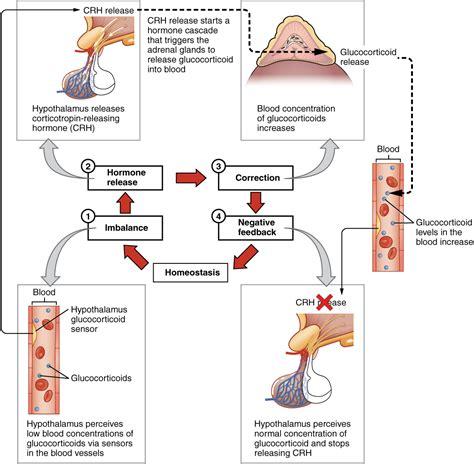 Hpa Achse Hypothalamus Hypophysen Nebennierenrinden Achse