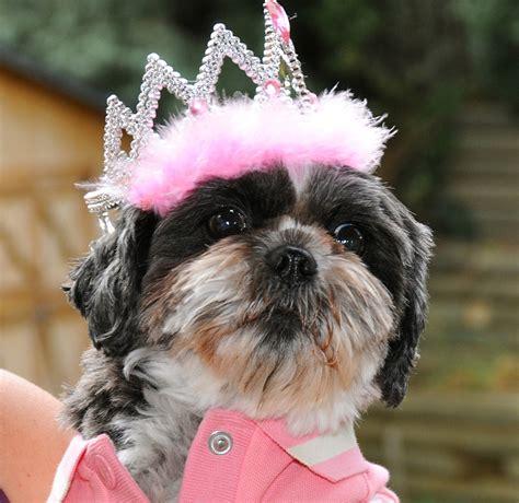 Dottie Shih Tzu In Her Birthday Tiara Dottie Shih Tzu In H Flickr