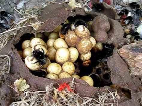 bumblebee nest hummelnest bombus lapidarius youtube