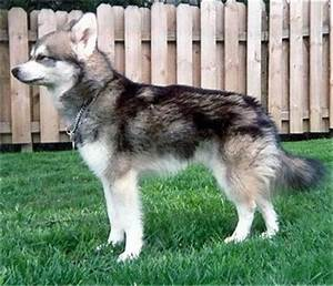 Alaskan Klee Kai Dog Breed Information and Pictures