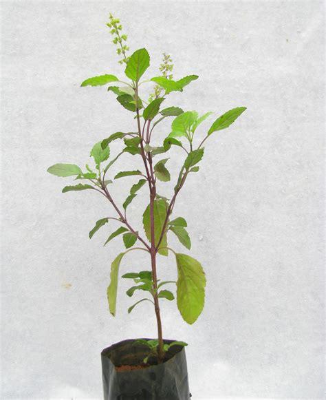 indoor vertical garden buy tulsi plant at best prices in india