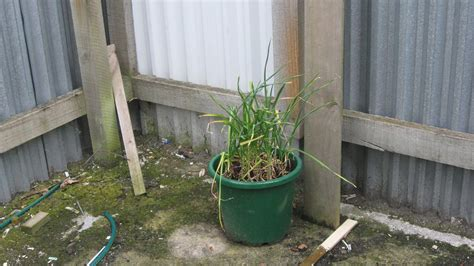 Potted Garlic Plants  How To Grow Garlic In A Container