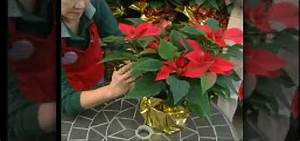 How To Dress Up A Poinsettia Plant With Gold Foil For