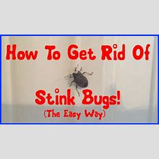How To Get Rid Of Stink Bugs Youtube