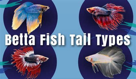 betta fish tail types betta fish care