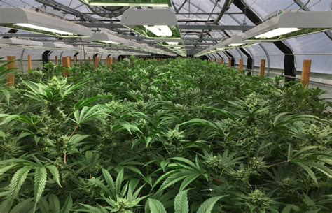 grow ls for weed technological innovations in marijuana grows cannabis now