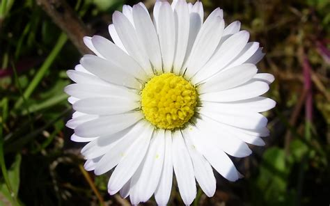 daisies flowers pictures widescreen flowers desktop close daisy flower 599802 imgstocks com