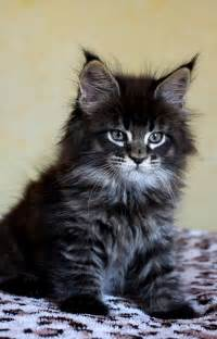 pictures of maine coon cats brown maine coon kitten victor scameron for the cat