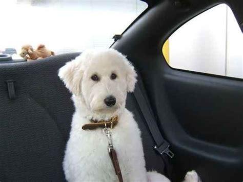 Sammy Poo Samoyed And Poodle Mix Dogs Pinterest