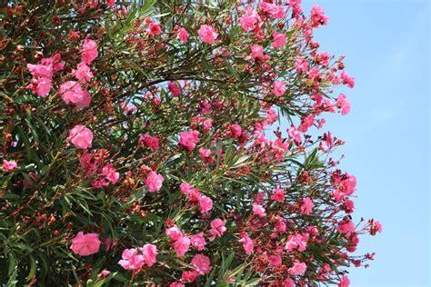oleander ähnliche pflanzen oleander pflanzen tipps zu standort wasserbedarf d 252 nger