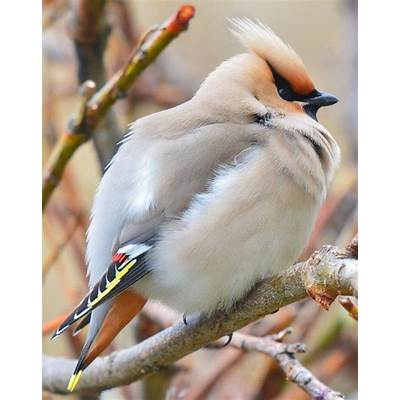 Bohemian WaxwingBirds and butterflyPinterest