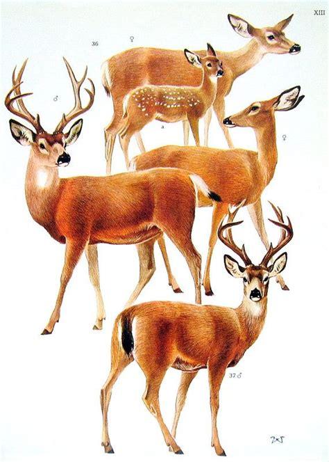 american deer roe deer  encyclopedia book plate