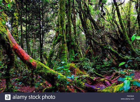 The Mossy Forest Of Gunung Brinchang Brinchang Malaysia