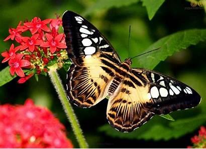 Butterfly Desktop Wallpapers Butterflies Flowers Vlinders Forest
