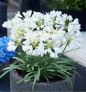 Graines D Agapanthe : agapanthe double diamond plante en ligne ~ Melissatoandfro.com Idées de Décoration