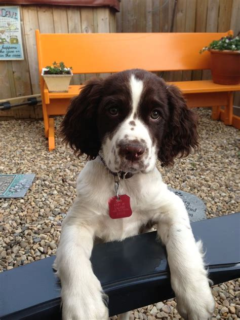 Springer Spaniel Puppies Shedding by Best 25 Springer Ideas On