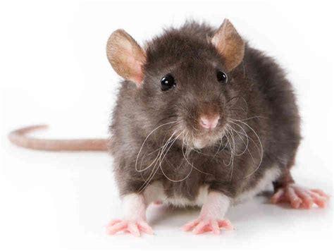 meaning  symbolism   word rat