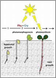 Photosynthetic Sucrose Acts As Cotyledon