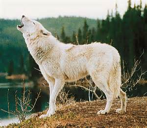 White Wolves Howling