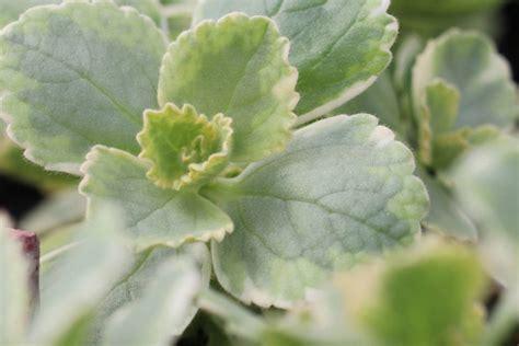 anti katzen pflanze verpiss dich pflanze plectranthus caninus pflege der anti katzen staude