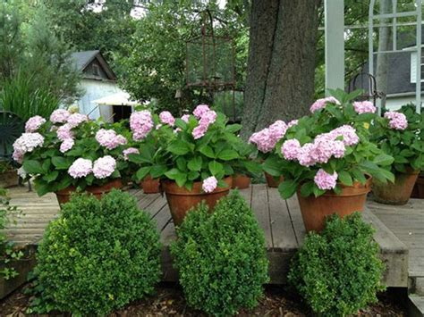 grow hydrangeas in large pots for the home