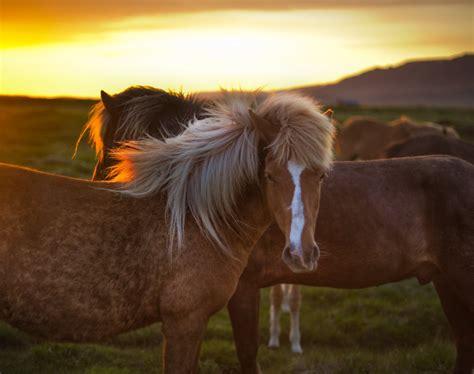 golden horse  iceland  golden horse  iceland