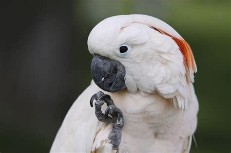 moluccan cockatoo birds good dog animals