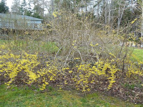 forsythia shrubs bulletin 2513 pruning forsythias in maine cooperative extension publications university of