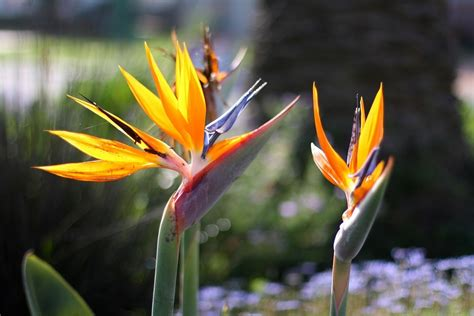 bird of paradise plant learn how to grow a bird of paradise plant