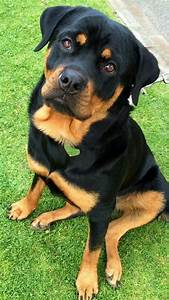 273 best rottweiler images images on pinterest With rottweiler dog training