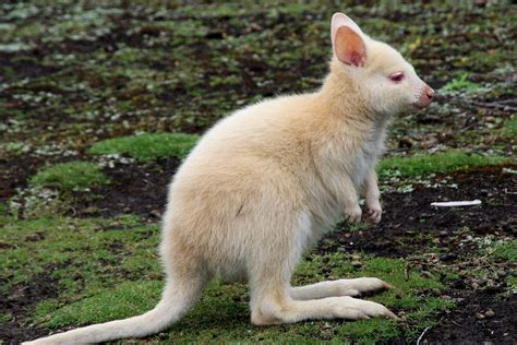 kangaroo white animal 183 free photo on pixabay