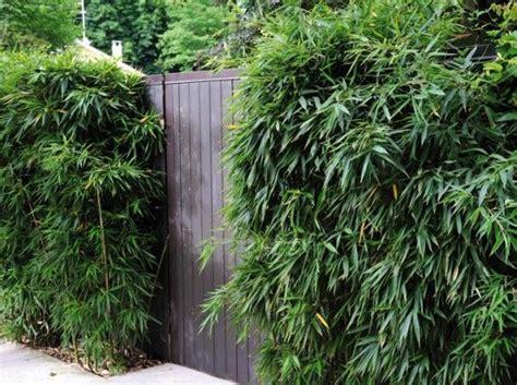 bambou non traçant pour haie les 25 meilleures id 233 es de la cat 233 gorie haie bambou sur