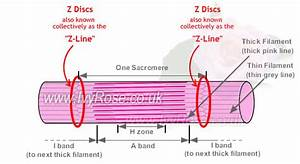 Sarcomere   Anatomy Of Muscle Structure
