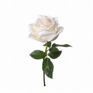 Rose Blanche - Boulevard des Fleurs