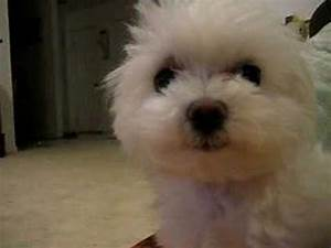 Cute maltese talks back - YouTube