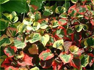 achat de l39 houttuynia acheter au meilleur prix de vente With ordinary photo jardin avec palmier 15 gazon synthetique artificiel gazon et jardin