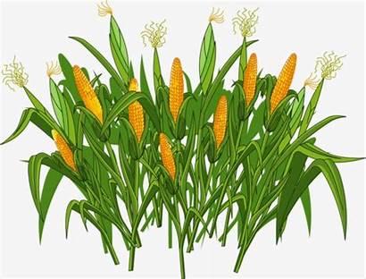Clipart Crops Crop Cartoon Corn Blockchain Production