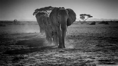 A Herd of African Elephants Walking in a line Ultra HD
