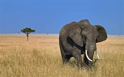 Elephant Wild Desktop Wallpapers Animals Elephants Animal
